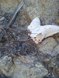 Juvenile Bighorn Skull